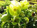 Helleborus lividus subsp. corsicus au Jardin des Plantes 01.JPG