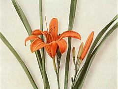 Hemerocallis fulva WFNY-012.jpg