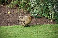 Hen in walled garden, Felbrigg Hall - geograph.org.uk - 1500802.jpg