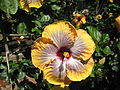 Hibiscus Fifth Dimension.jpg