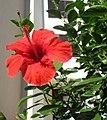 Hibiscus SDC12240.jpg