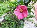 Hibiscus rosa sinensis hybrid-35-hanuman temple-muluvi-yercaud-salem-India.jpg