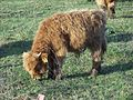 Highland cattle-Poland-06.jpg