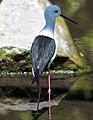 Himantopus himantopus -Pensthorpe Nature Reserve-8.jpg
