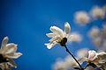 Hint of magnolia (2559153310).jpg