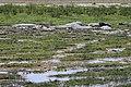 Hippopotamus amphibius 06.jpg