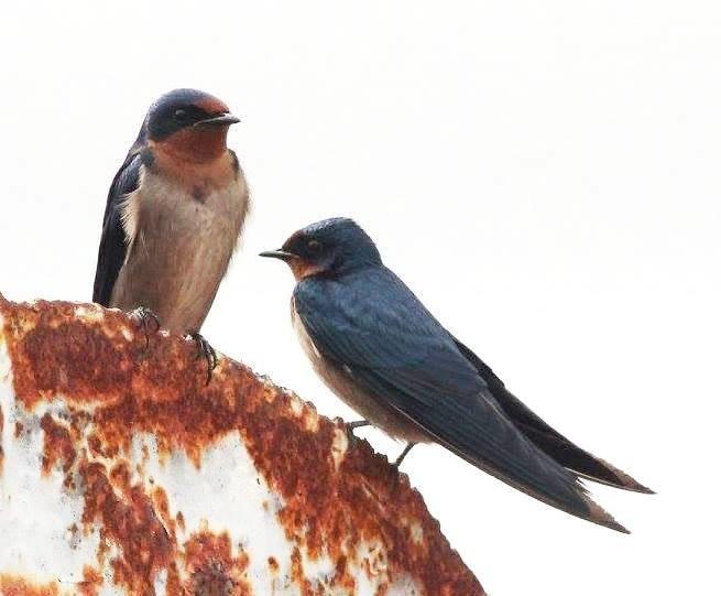 Hirundo angolensis, Munhango, Birding Weto, a