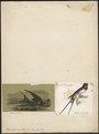 Hirundo rustica - 1700-1880 - Print - Iconographia Zoologica - Special Collections University of Amsterdam - UBA01 IZ16700131.tif