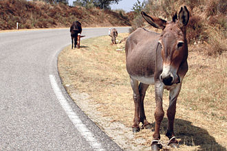 Hobble (device) - A hobbled donkey in Sardinia