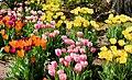 Hofstra university tulips.jpg