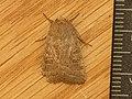 Hoplodrina ambigua (8985522692).jpg