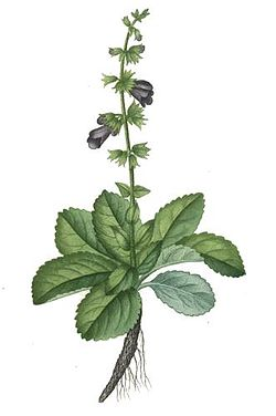 definition of salvia leucophylla