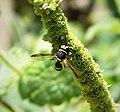 Hoverfly, Ceriana vespiformis (39839065002).jpg
