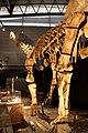 Huabeisaurus mount.jpg