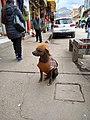 Huancayo Peru- Peruvian Hairless Dog.jpg