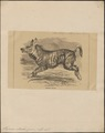 Hyaena striata - 1862-1876 - Print - Iconographia Zoologica - Special Collections University of Amsterdam - UBA01 IZ22200057.tif