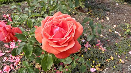 Hybrid Tea - Fragrant Cloud 3 (cr).JPG