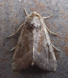 <i>Hydraecia petasitis</i> Species of moth