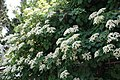 Hydrangea anomala petiolaris 12zz.jpg