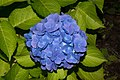 Hydrangea macrophylla (medi àcid).jpg
