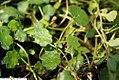 Hydrocotyle vulgaris 1zz.jpg