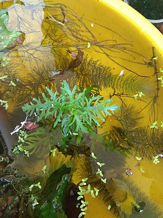 Hygrophila difformis - Water wisteria or Hydrophila diffiformis shows hetrophylly which is the occurrence of two different leaf morphologys in a same plant. This is submerged growth.