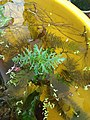 Hygrophila difformis also known as water wisteria Submerged and Emmersed growth 2.jpg