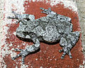Hyla chrysoscelisPCCA20040509-1704B.jpg