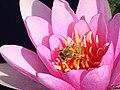 Hymenoptera on pink flower (40828366680).jpg