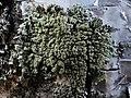 Hypogymnia farinacea 89947441.jpg