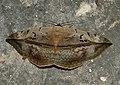 Hypopyra vespertilio by Dr. Raju Kasambe DSCN0468 (13).jpg