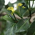 IMG 7192-Psychotria capensis.JPG