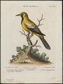 Icterus xanthornus - 1700-1880 - Print - Iconographia Zoologica - Special Collections University of Amsterdam - UBA01 IZ15800205.tif