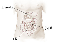Illu small intestine català.png