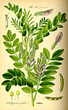Illustration Glycyrrhiza glabra0.jpg
