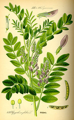 Real licorice (Glycyrrhiza glabra), illustration
