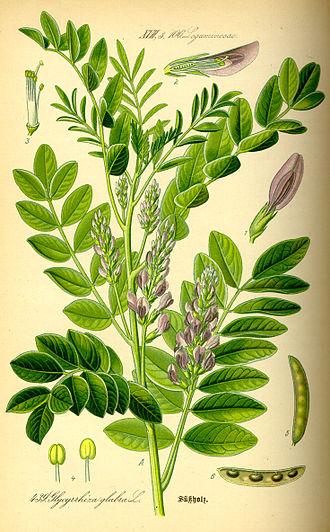 Liquorice - Image: Illustration Glycyrrhiza glabra 0