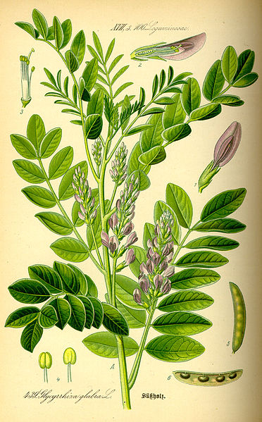 File:Illustration Glycyrrhiza glabra0.jpg