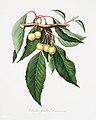 Illustration from Pomona Italiana Giorgio Gallesio by rawpixel00007.jpg