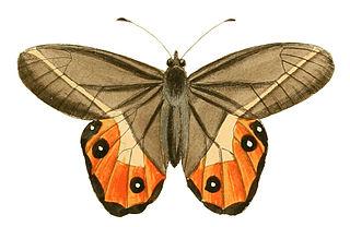 <i>Pierella nereis</i> species of insect