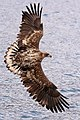 Immature white-tailed eagle plumage.jpg