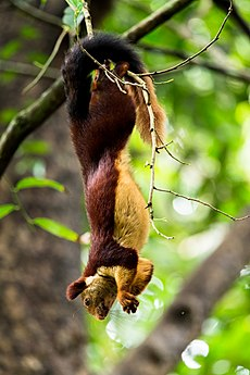 Indian giant squirrel .2.jpg