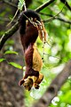 Indian giant squirrel .2.jpg