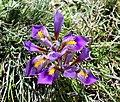 Iris cretensis.jpg