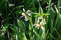 Iris foetidissima 15-05-2009 15-14-50.JPG