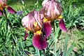 Iris germanica 7923-1725.jpg