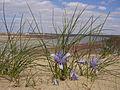 Iris tenuifolia; Baikonur 003.jpg