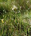 Ixia paniculata.jpg