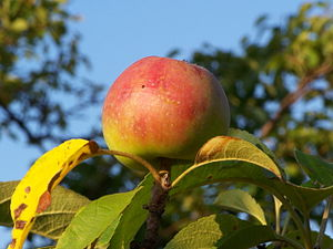 English: Apple. Polski: Jabłko.