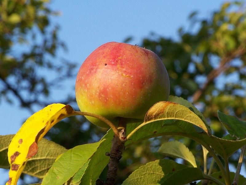 File:Jabłko - owoc.JPG